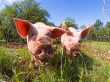 Visite des Agriolles et découverte du métier d'éleveur de cochons